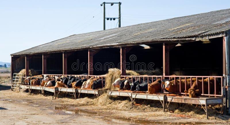 Bestiame che si alimenta sulle carote. immagini stock