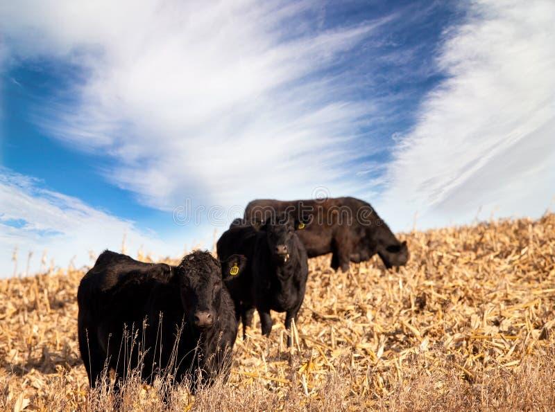 Bestiame del Angus immagini stock libere da diritti
