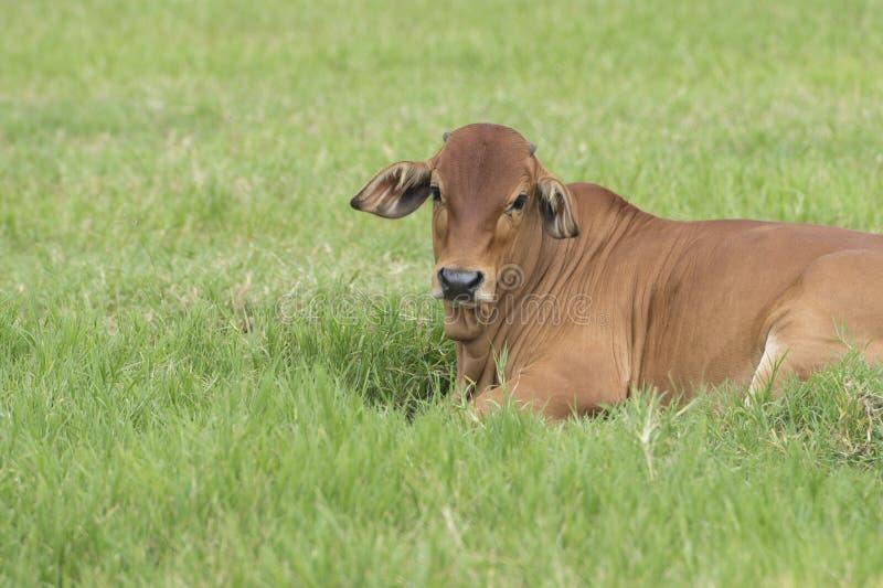 Bestiame del bramano in un campo verde Bestiame americano Graz della mucca del bramano fotografia stock
