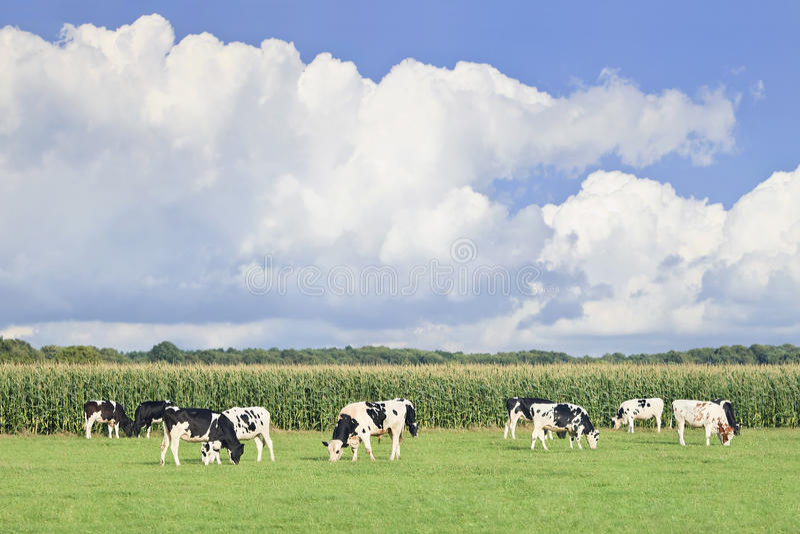 Bestiame del frisone dell'Holstein in un prato olandese verde, fotografie stock