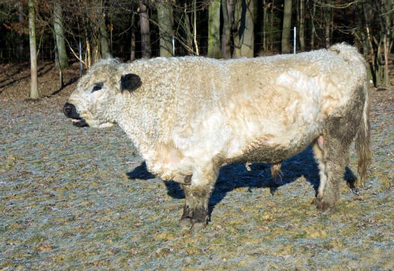 Bestiame del Galloway immagine stock
