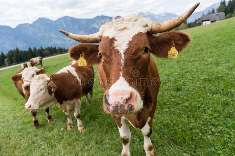 Bestiame del simmental fotografia stock
