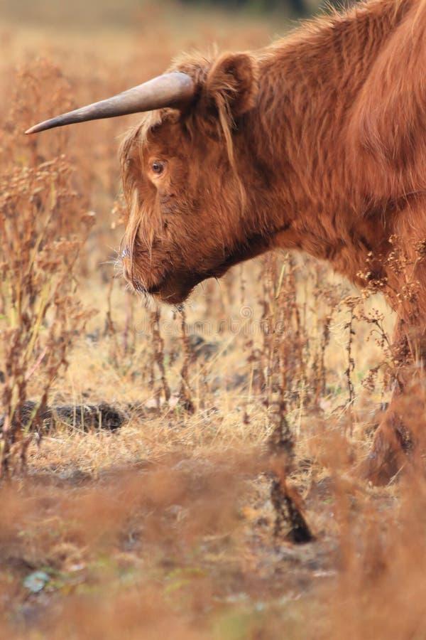 Bestiame della mucca dell'altopiano che pasce campo asciutto immagini stock libere da diritti