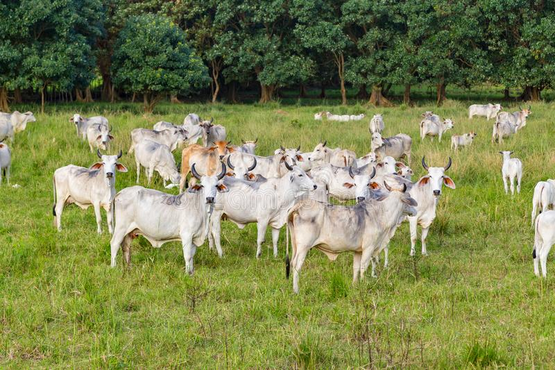 Bestiame di Cebu fotografia stock