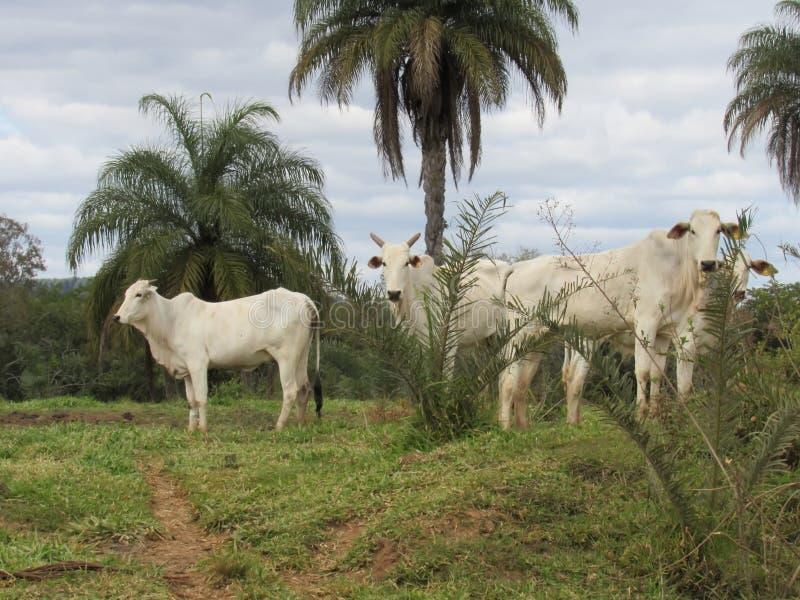 Bestiame di Nelore immagine stock libera da diritti