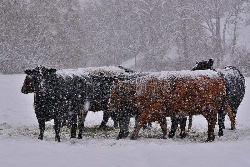 Bestiame durante la tempesta di inverno immagini stock