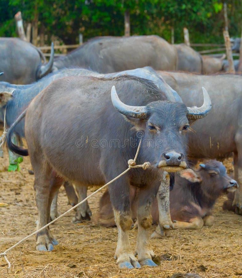 Bestiame, gregge del bufalo, Tahiland immagine stock libera da diritti