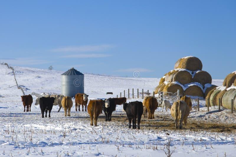 Bestiame in inverno immagini stock