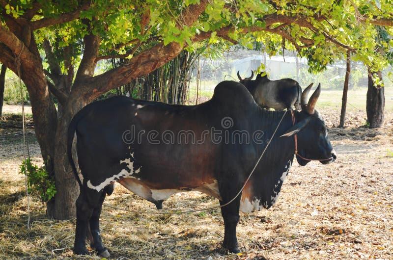 Bestiame maschio nero del bramano che sta sotto l'albero in azienda agricola immagini stock