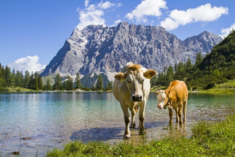 Bestiame in montagne di Wetterstein immagine stock