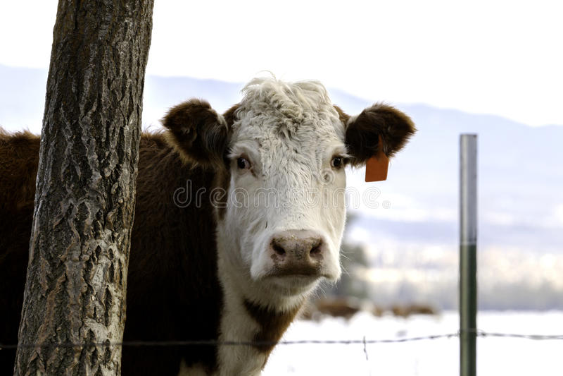 Bestiame nel Montana immagini stock