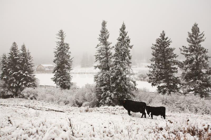 Bestiame nel pascolo di inverno fotografia stock