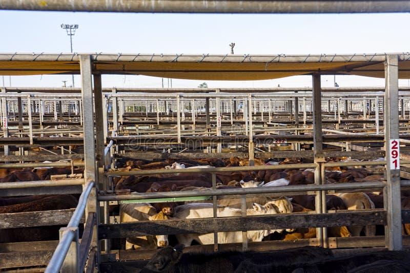 Bestiame nelle penne di vendite fotografia stock