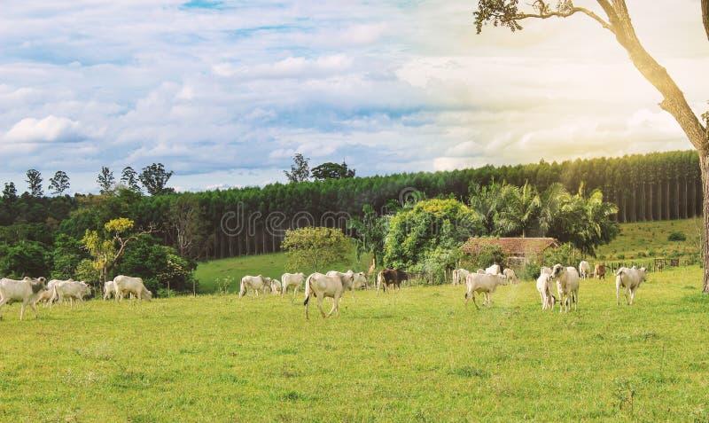 Bestiame - Nelore sull'azienda agricola, immagine di concetto fotografia stock libera da diritti