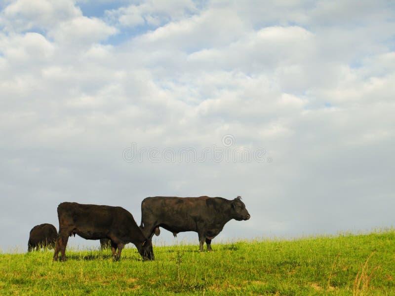 Bestiame nero del Angus fotografia stock