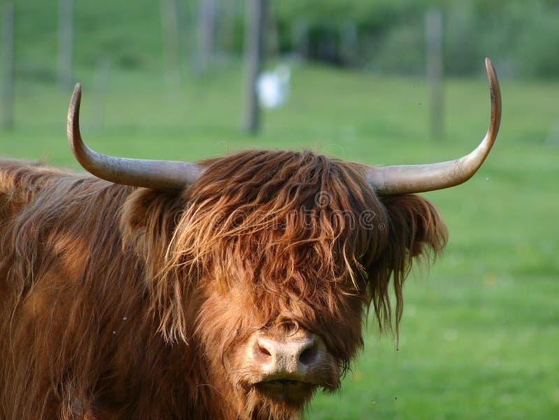Download Bestiame Scozzese Dell'altopiano Immagine Stock - Immagine di toro, bestiami: 210125