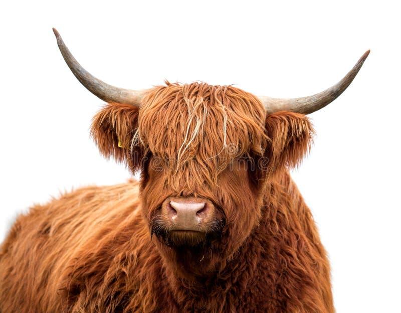 Bestiame scozzese dell'altopiano isolato fotografia stock libera da diritti