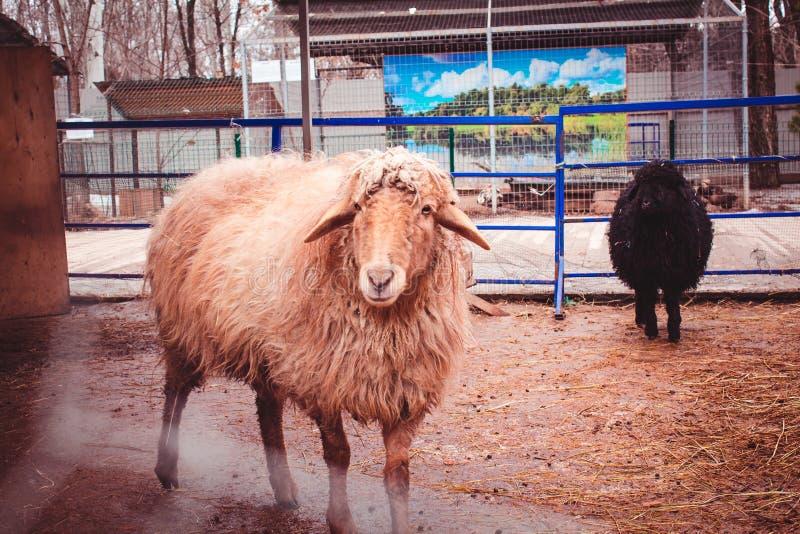 Bestii zwierzęcego gospodarstwa rolnego ślepuszonki dom obrazy stock