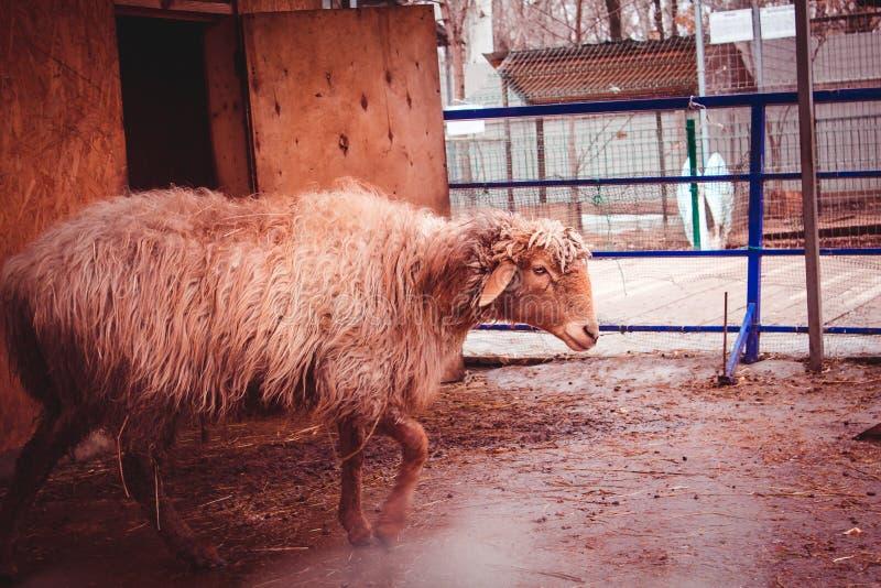 Bestii zwierzęcego gospodarstwa rolnego ślepuszonki dom zdjęcie stock