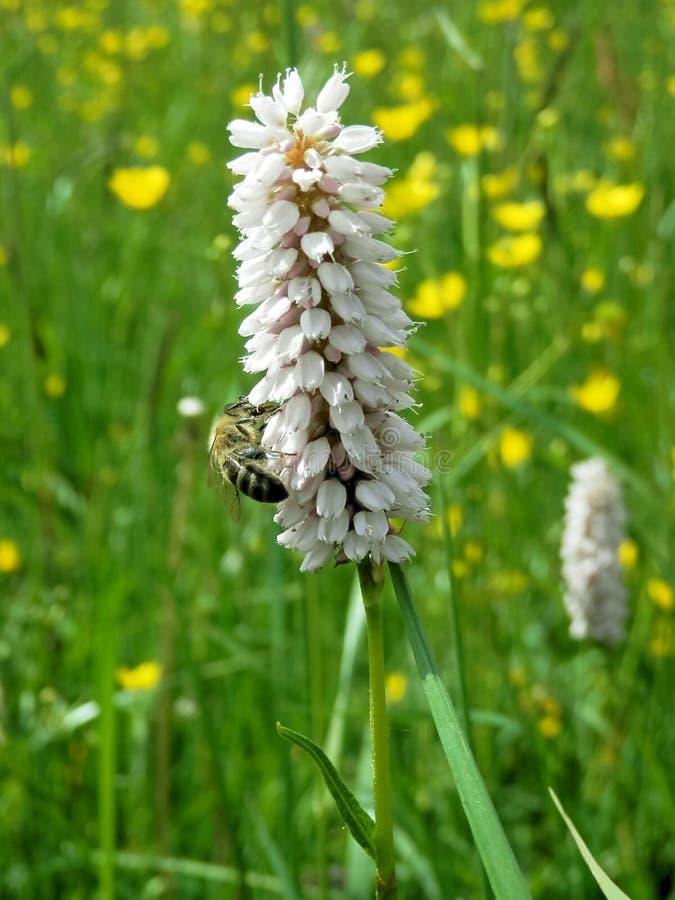 In bestuiving en installatievoeding van bijen in de lente royalty-vrije stock afbeelding