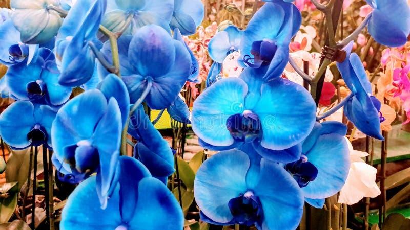 Betäubungs-blaue Orchideen, zum herauf Ihr Haus, die erstaunliche Phalanx-blauen Orchideen zu erhellen, zum herauf Ihr Haus, blau stockbilder