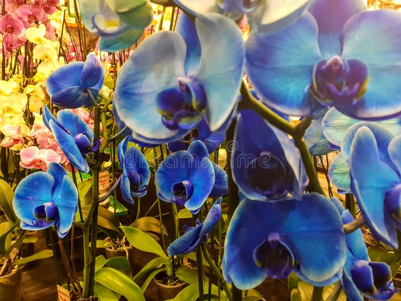 Betäubungs-blaue Orchideen, zum herauf Ihr Haus, die erstaunliche Phalanx-blauen Orchideen zu erhellen, zum herauf Ihr Haus, blau stockbild