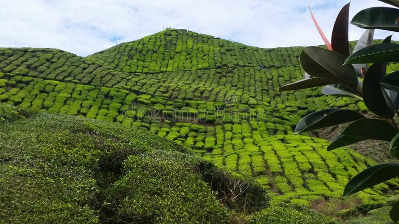 Betäubungscameron highlands malaysia tea plantation lizenzfreie stockfotografie