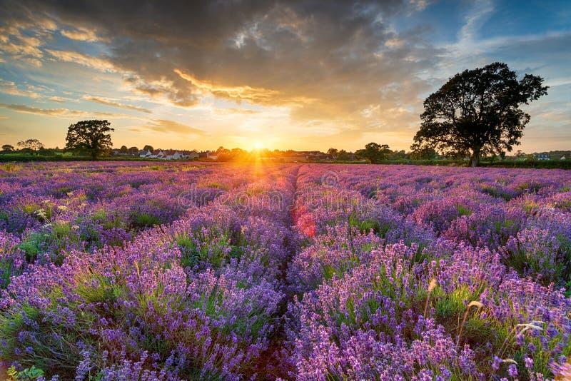 Betäubungssonnenuntergang über Feldern des Lavendels in Somerset stockfotos