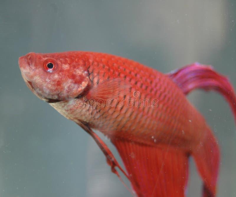 beta鱼红色 免版税库存图片
