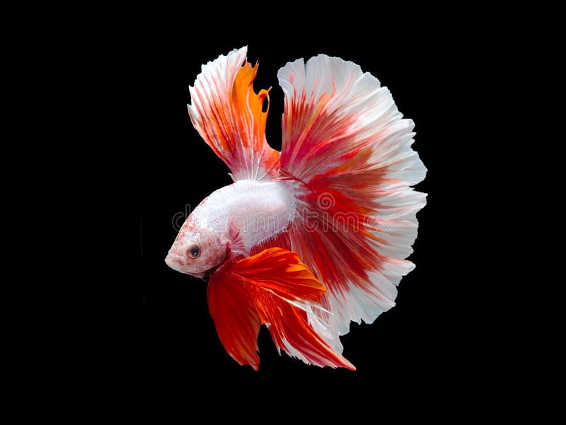 Beta bój ryba, Syjamska bój ryba obrazy stock