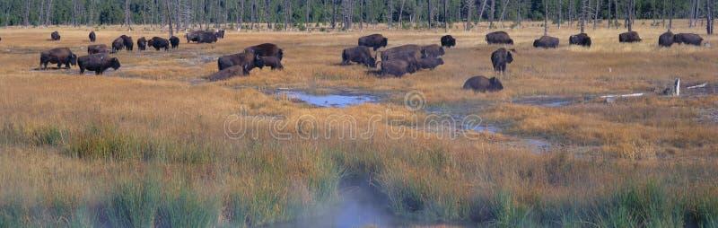 Beta för buffel royaltyfria bilder
