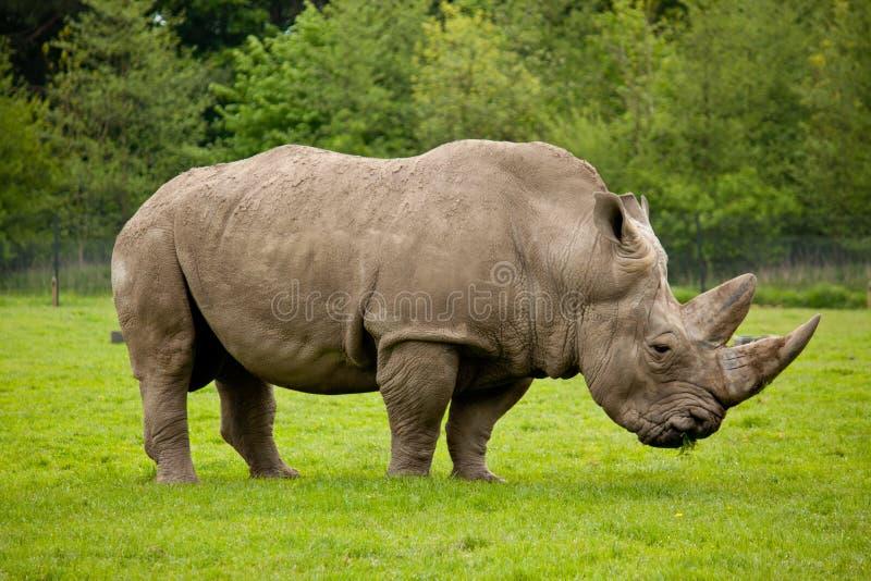 Beta för noshörning arkivfoton