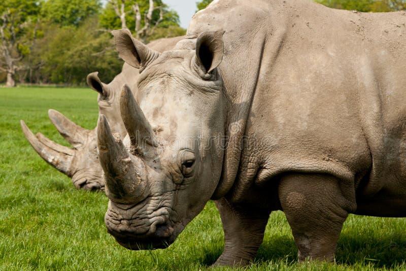 Beta för noshörning royaltyfri fotografi