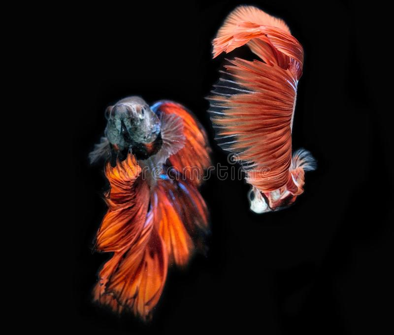 Beta Fish Fighting photo stock