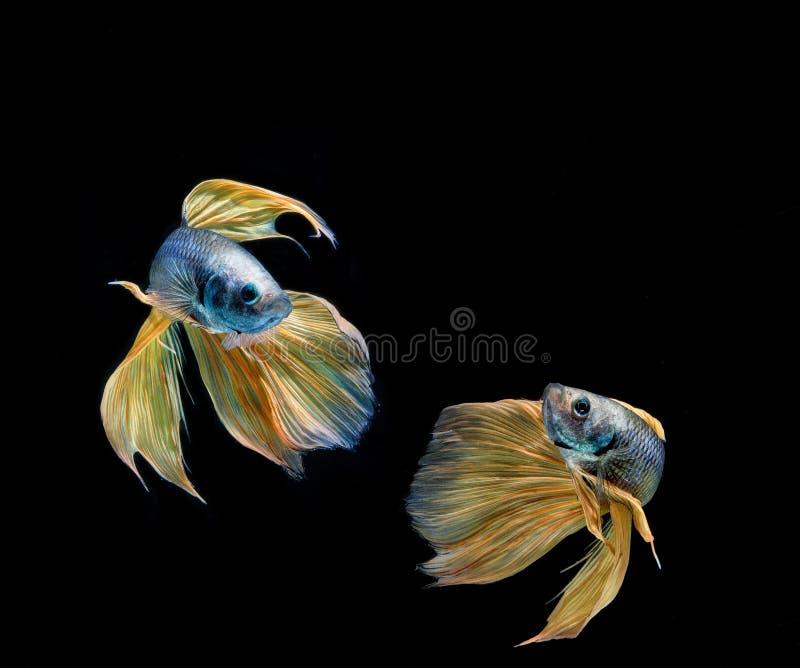 Beta Fish Fighting photographie stock libre de droits
