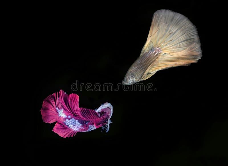 Beta Fish Fighting photos stock