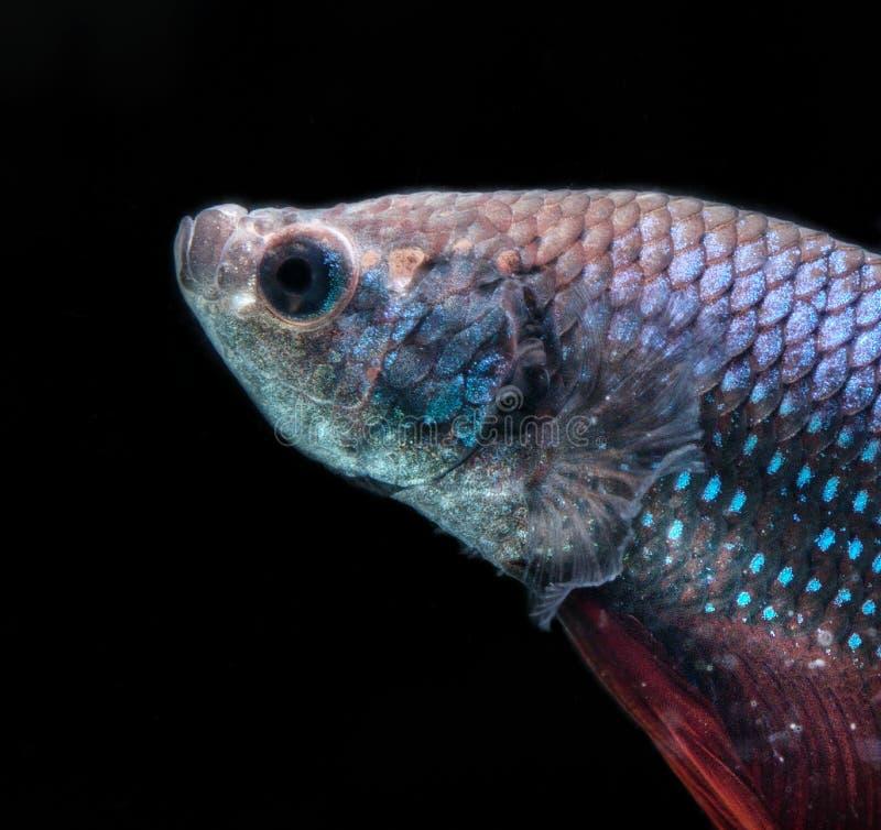 Beta Fish Fighting image libre de droits