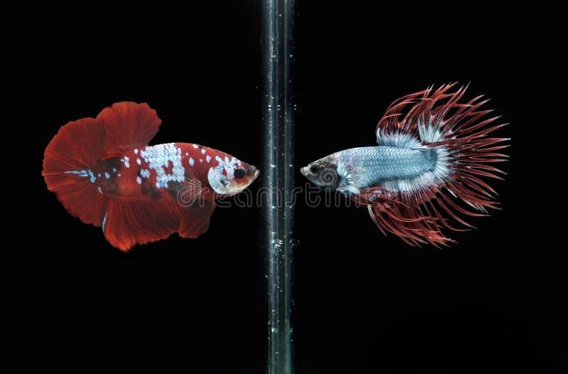 Beta Fish Fighting image stock