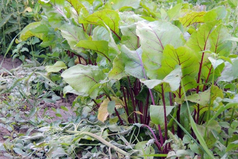 Beta i trädgården fotografering för bildbyråer