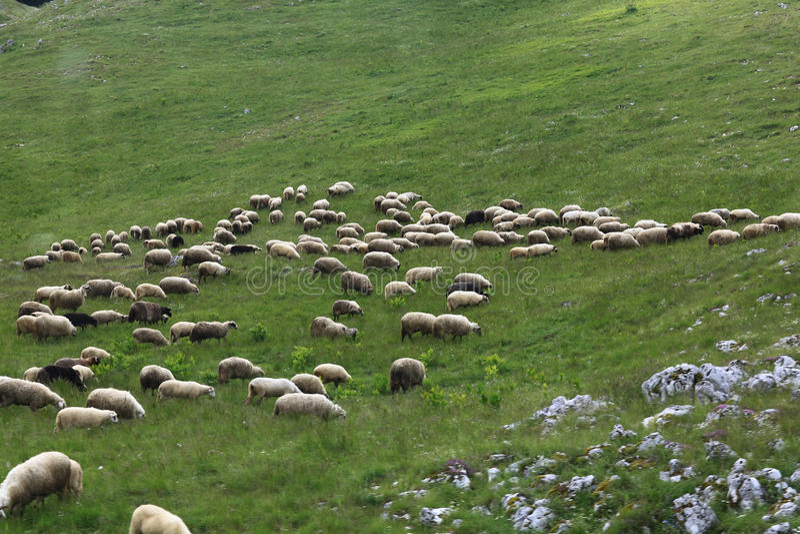 Beta med får i berg fotografering för bildbyråer