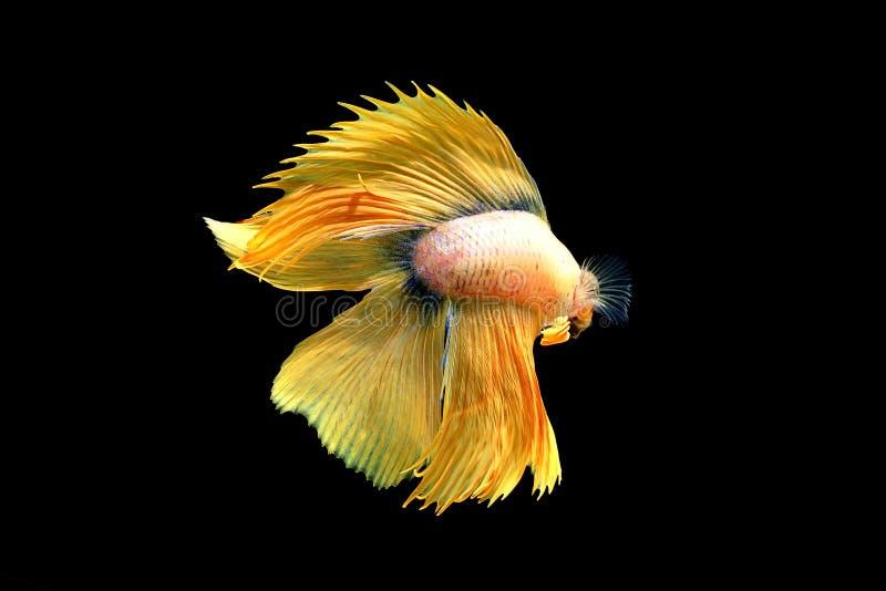 Betahalbmond, der nah schöne Fische oben kämpft stockfotografie