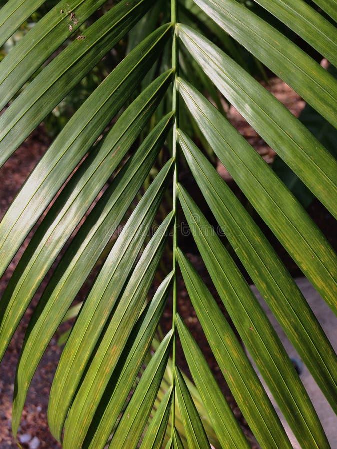 Betal palmblad royaltyfria foton