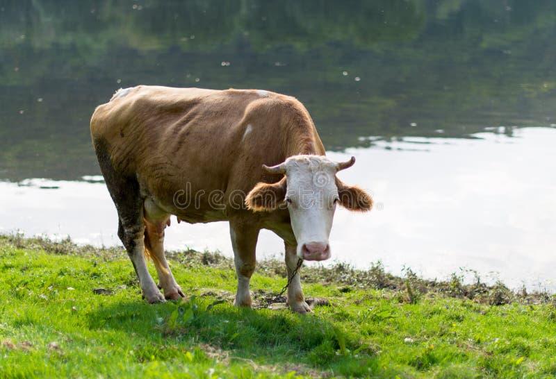 betande äng för ko arkivbilder