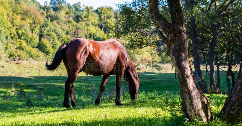 Betande brun fullblods- häst på härlig grön äng fotografering för bildbyråer