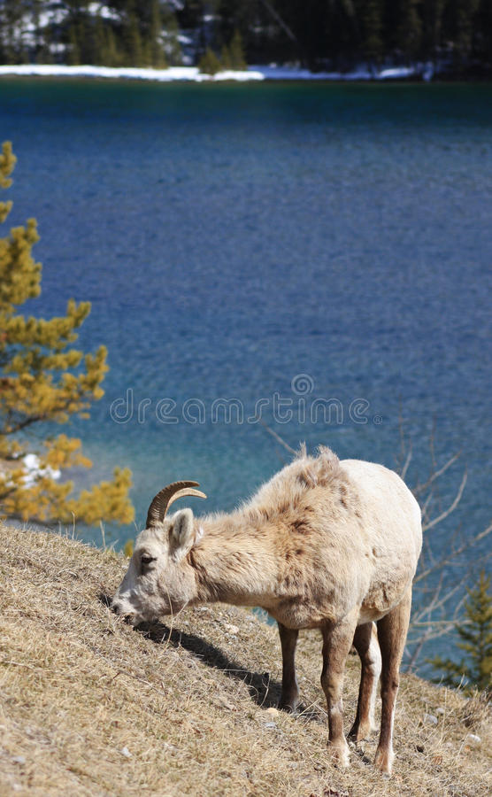 betande får för bighorn arkivfoton