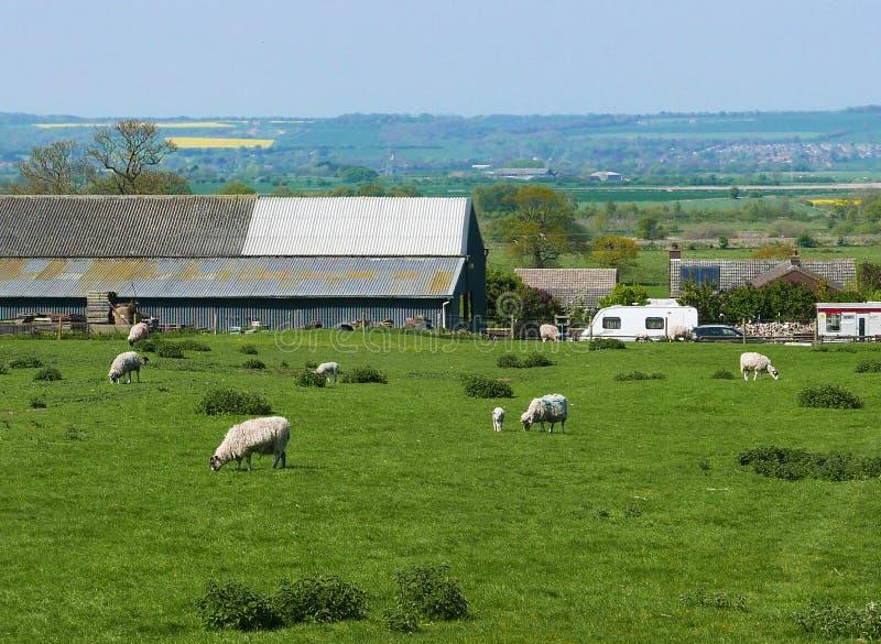 betande får för fält arkivbild