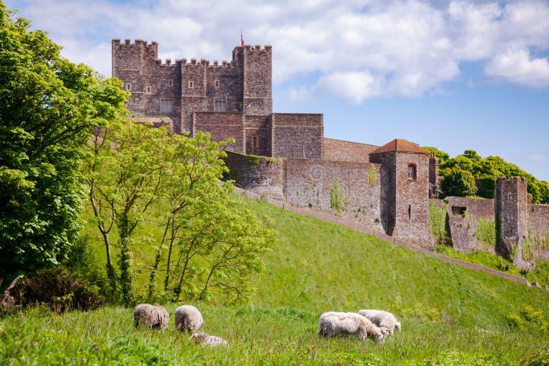 Betande får på Dover Castle Kent England UK royaltyfria bilder