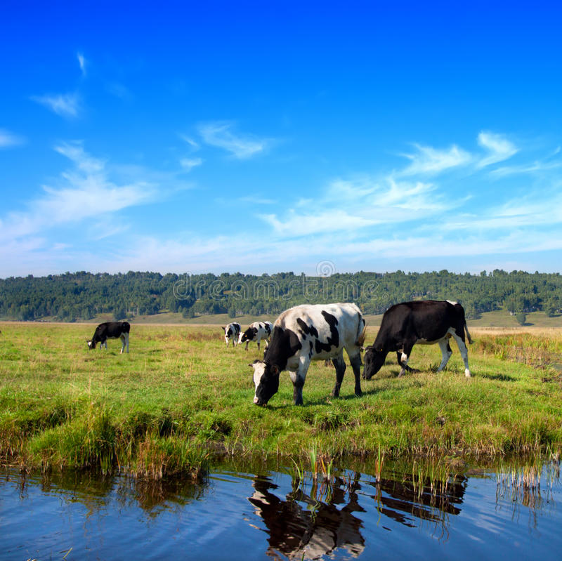 betande flockäng för kor fotografering för bildbyråer