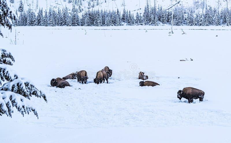 Betande flock av bisonen, buffel, i snöig Yellowstone under wint arkivbilder