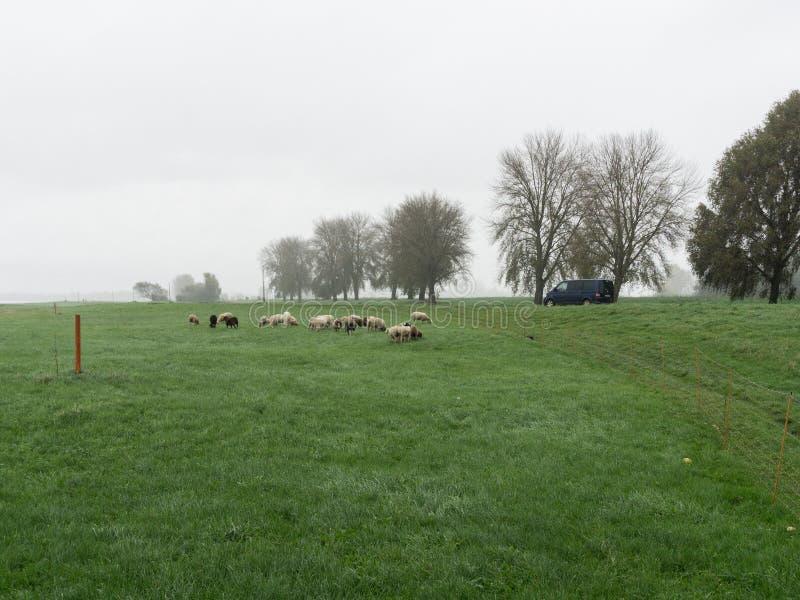 Betande flock av får på ett grönt fält arkivbild